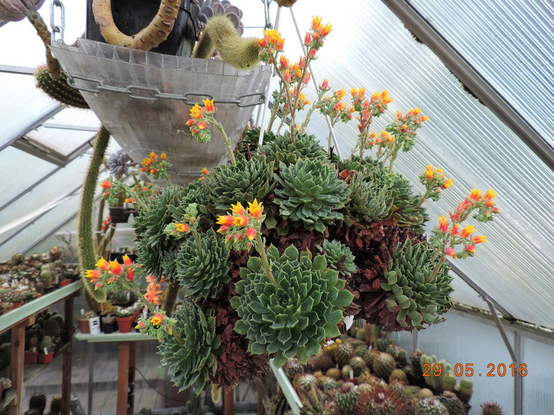 Cacti and Sukkulent in Köln, every day new flowers in the greenhouse Part 157 Bild1295