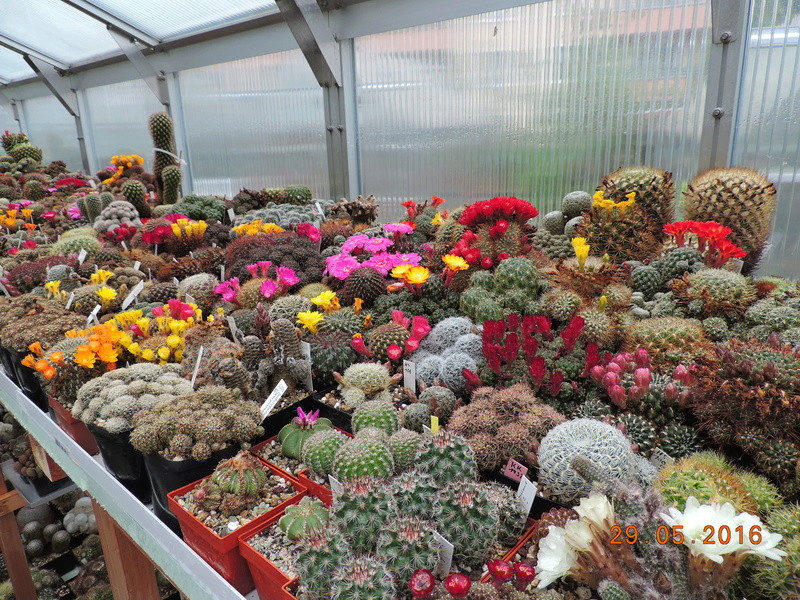 Cacti and Sukkulent in Köln, every day new flowers in the greenhouse Part 157 Bild1296