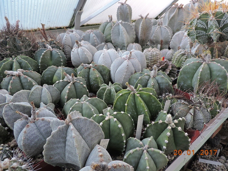 Cacti and Sukkulent in Köln, every day new flowers in the greenhouse Part 157 Bild1300
