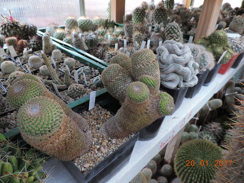 Cacti and Sukkulent in Köln, every day new flowers in the greenhouse Part 157 Bild1301