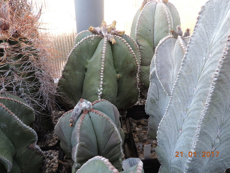 Cacti and Sukkulent in Köln, every day new flowers in the greenhouse Part 157 Bild1303