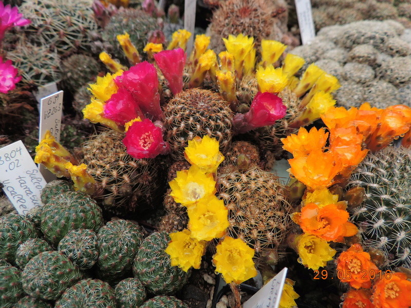 Cacti and Sukkulent in Köln, every day new flowers in the greenhouse Part 157 Bild1328