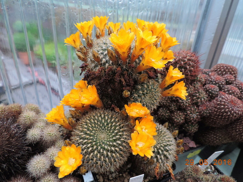 Cacti and Sukkulent in Köln, every day new flowers in the greenhouse Part 157 Bild1332