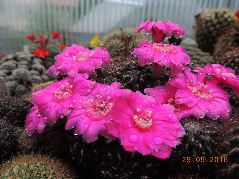 Cacti and Sukkulent in Köln, every day new flowers in the greenhouse Part 157 Bild1333