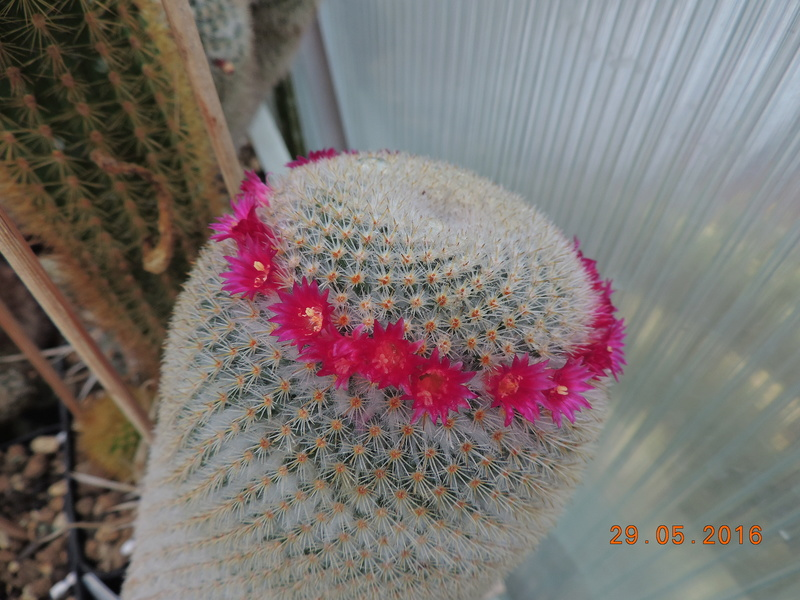 Cacti and Sukkulent in Köln, every day new flowers in the greenhouse Part 157 Bild1351