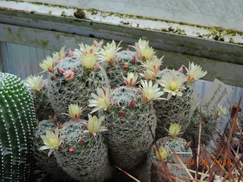 Cacti and Sukkulent in Köln, every day new flowers in the greenhouse Part 157 Bild1357