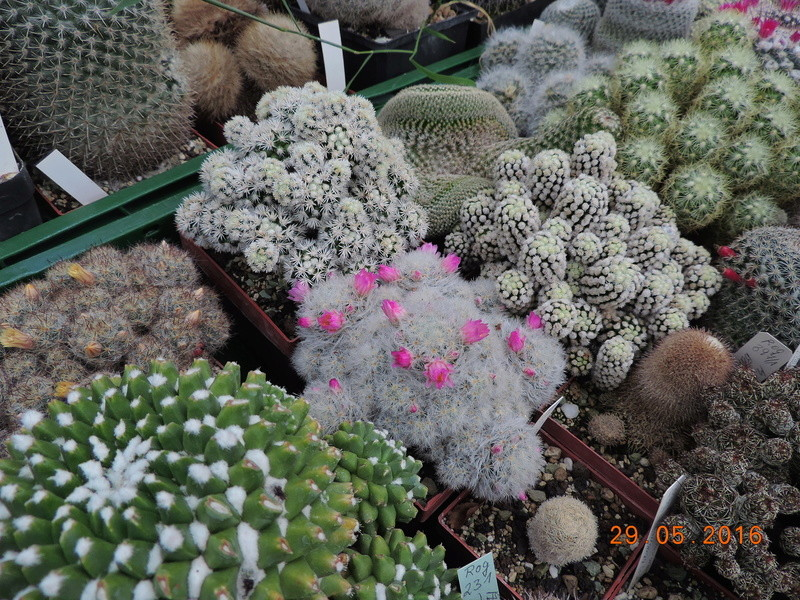 Cacti and Sukkulent in Köln, every day new flowers in the greenhouse Part 157 Bild1360