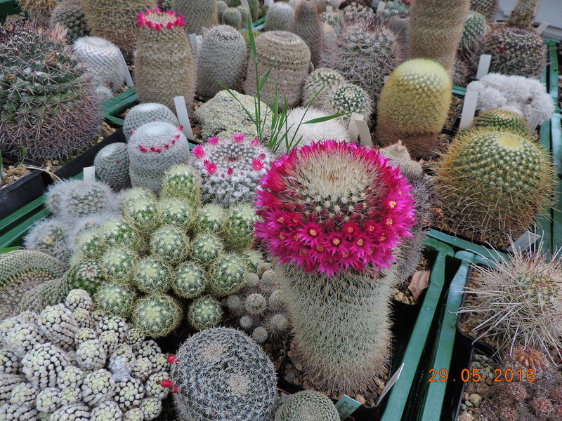 Cacti and Sukkulent in Köln, every day new flowers in the greenhouse Part 157 Bild1361