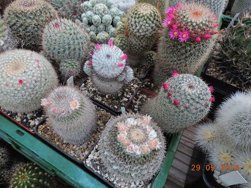Cacti and Sukkulent in Köln, every day new flowers in the greenhouse Part 157 Bild1362