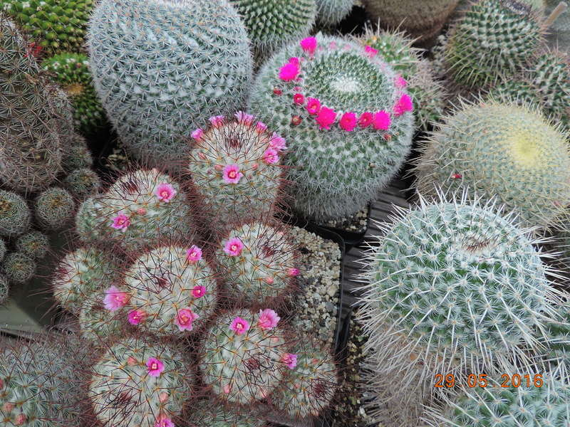 Cacti and Sukkulent in Köln, every day new flowers in the greenhouse Part 157 Bild1365