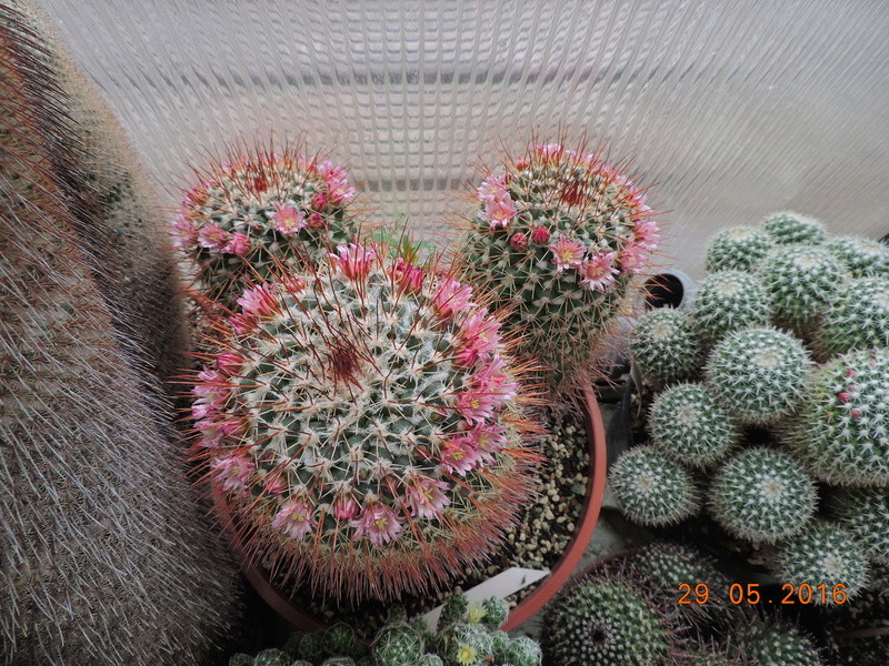 Cacti and Sukkulent in Köln, every day new flowers in the greenhouse Part 157 Bild1367