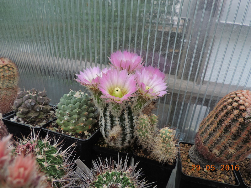 Cacti and Sukkulent in Köln, every day new flowers in the greenhouse Part 157 Bild1375