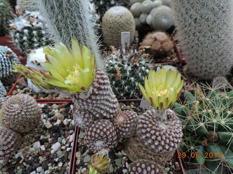 Cacti and Sukkulent in Köln, every day new flowers in the greenhouse Part 157 Bild1380