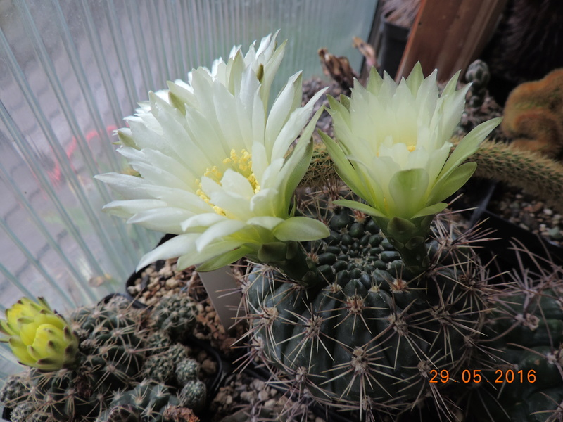Cacti and Sukkulent in Köln, every day new flowers in the greenhouse Part 157 Bild1382