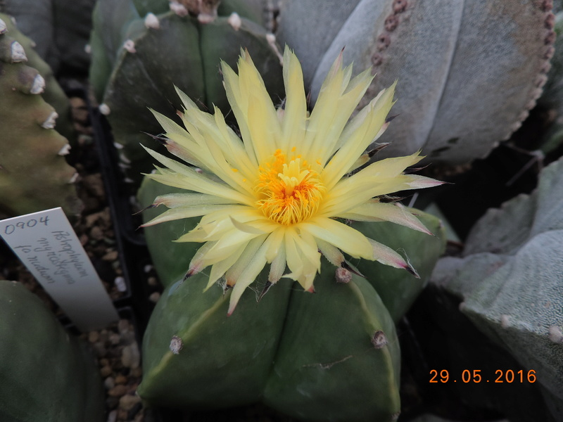 Cacti and Sukkulent in Köln, every day new flowers in the greenhouse Part 157 Bild1383