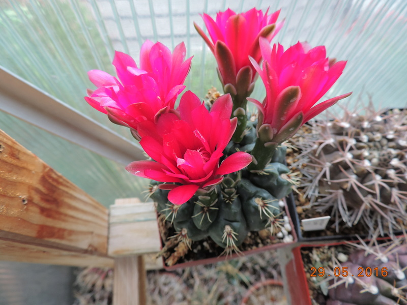 Cacti and Sukkulent in Köln, every day new flowers in the greenhouse Part 157 Bild1385