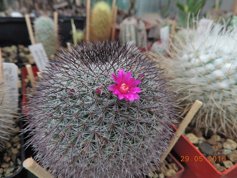 Cacti and Sukkulent in Köln, every day new flowers in the greenhouse Part 157 Bild1395