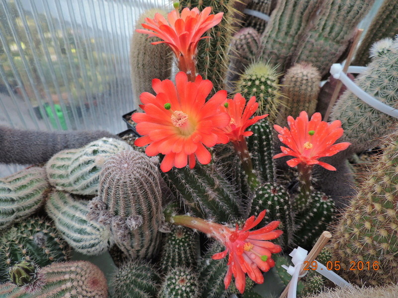 Cacti and Sukkulent in Köln, every day new flowers in the greenhouse Part 157 Bild1399