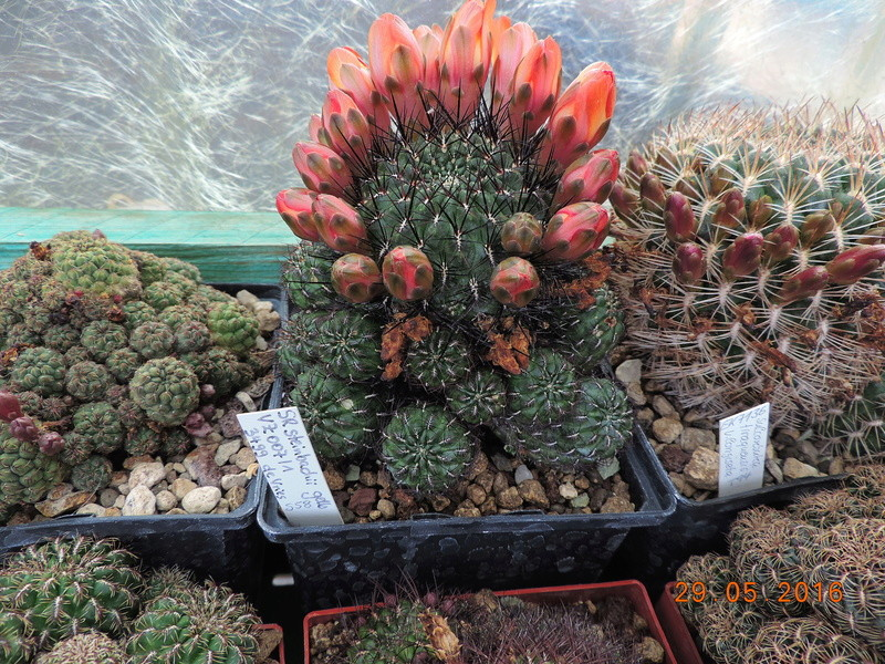 Cacti and Sukkulent in Köln, every day new flowers in the greenhouse Part 157 Bild1400