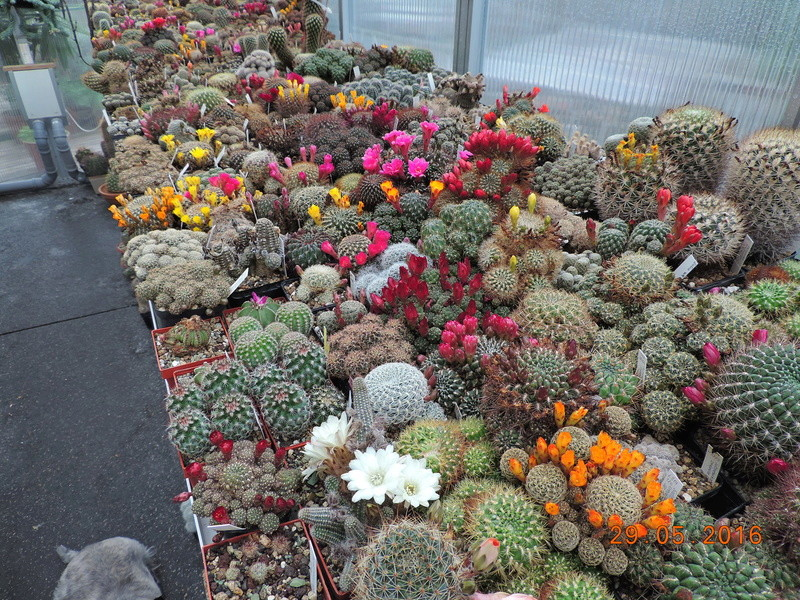 Cacti and Sukkulent in Köln, every day new flowers in the greenhouse Part 157 Bild1402