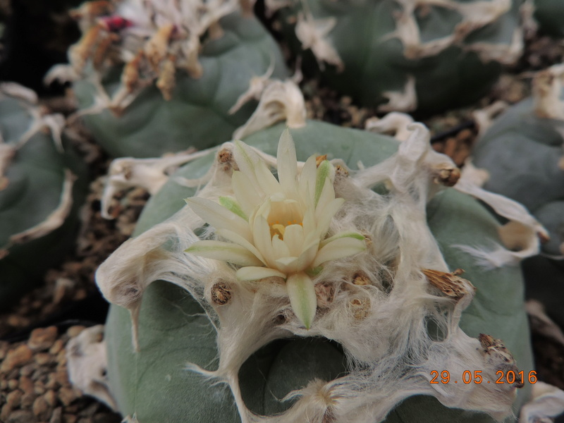 Cacti and Sukkulent in Köln, every day new flowers in the greenhouse Part 157 Bild1407