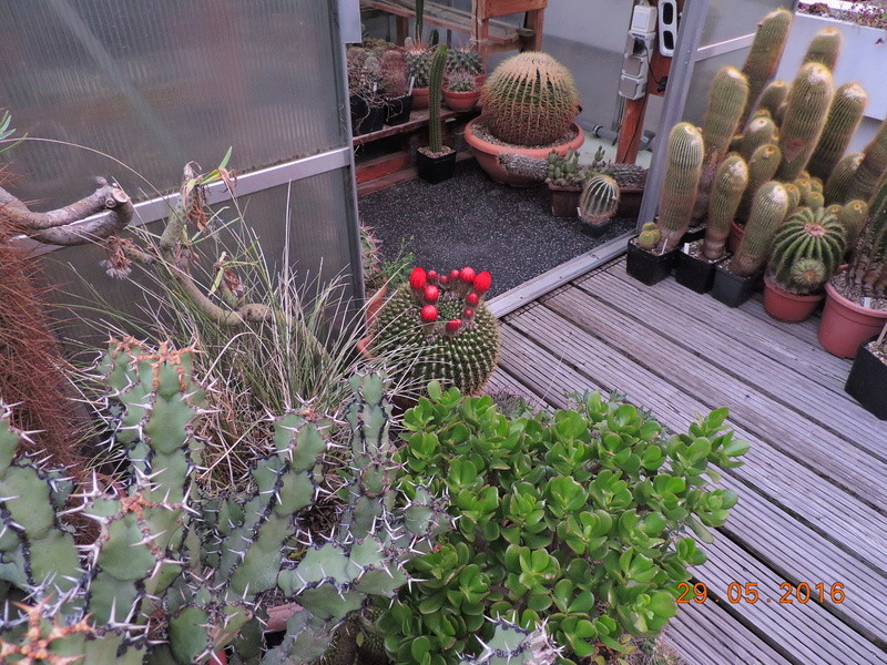 Cacti and Sukkulent in Köln, every day new flowers in the greenhouse Part 157 Bild1408
