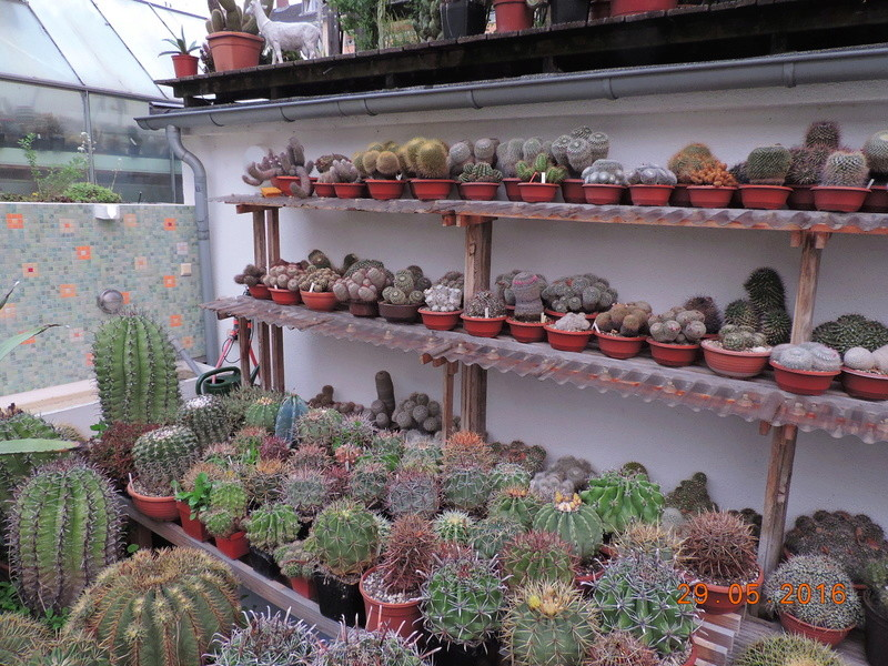 Cacti and Sukkulent in Köln, every day new flowers in the greenhouse Part 157 Bild1411