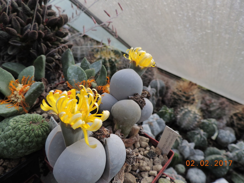Cacti and Sukkulent in Köln, every day new flowers in the greenhouse Part 157 Bild1416