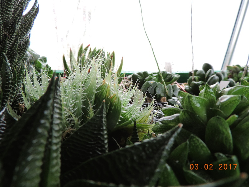 Cacti and Sukkulent in Köln, every day new flowers in the greenhouse Part 157 Bild1423