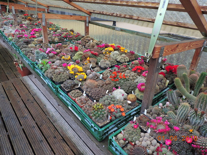 Cacti and Sukkulent in Köln, every day new flowers in the greenhouse Part 158 Bild1437