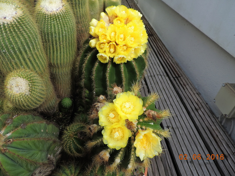 Cacti and Sukkulent in Köln, every day new flowers in the greenhouse Part 158 Bild1442