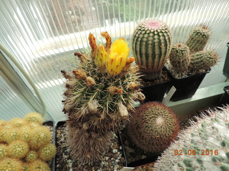 Cacti and Sukkulent in Köln, every day new flowers in the greenhouse Part 158 Bild1444