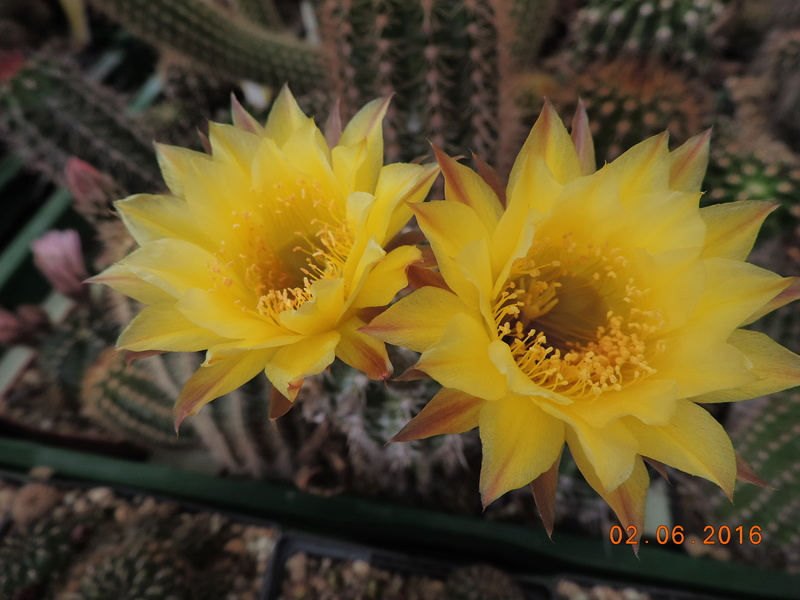 Cacti and Sukkulent in Köln, every day new flowers in the greenhouse Part 158 Bild1449