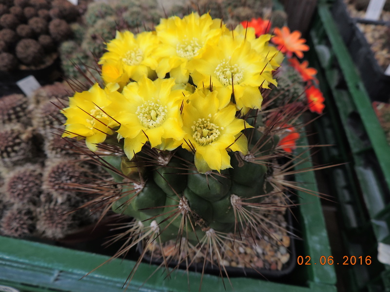 Cacti and Sukkulent in Köln, every day new flowers in the greenhouse Part 158 Bild1454