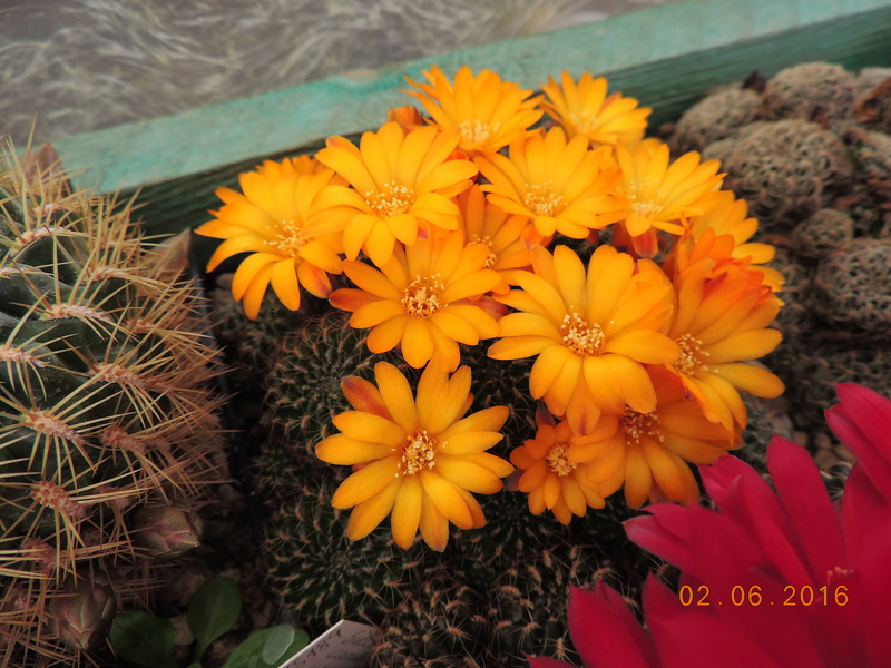 Cacti and Sukkulent in Köln, every day new flowers in the greenhouse Part 158 Bild1457