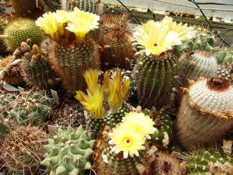 Cacti and Sukkulent in Köln, every day new flowers in the greenhouse Part 53 Bild_109