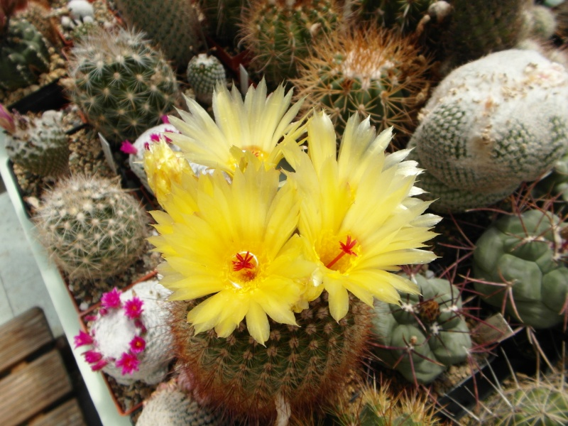 Cacti and Sukkulent in Köln, every day new flowers in the greenhouse Part 53 Bild_110