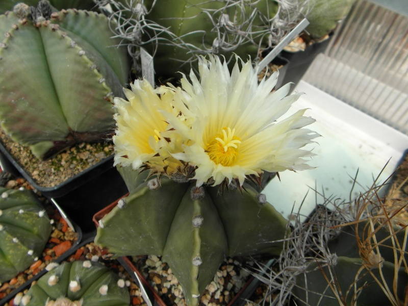 Cacti and Sukkulent in Köln, every day new flowers in the greenhouse Part 53 Bild_116