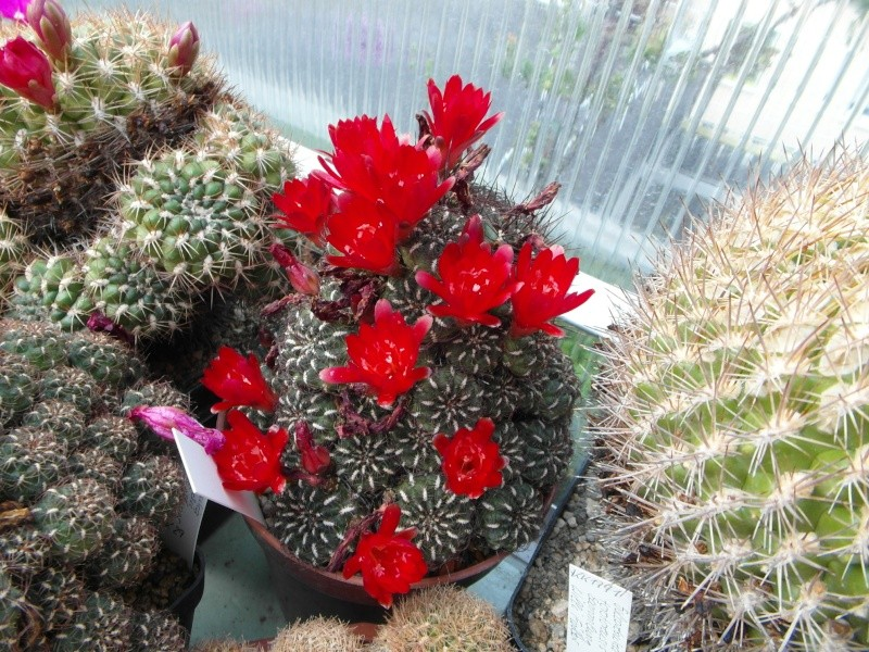 Cacti and Sukkulent in Köln, every day new flowers in the greenhouse Part 53 Bild_118