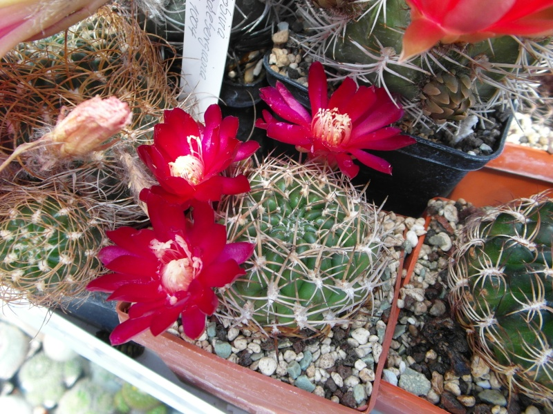 Cacti and Sukkulent in Köln, every day new flowers in the greenhouse Part 53 Bild_121