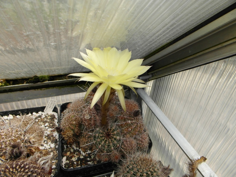 Cacti and Sukkulent in Köln, every day new flowers in the greenhouse Part 53 Bild_123