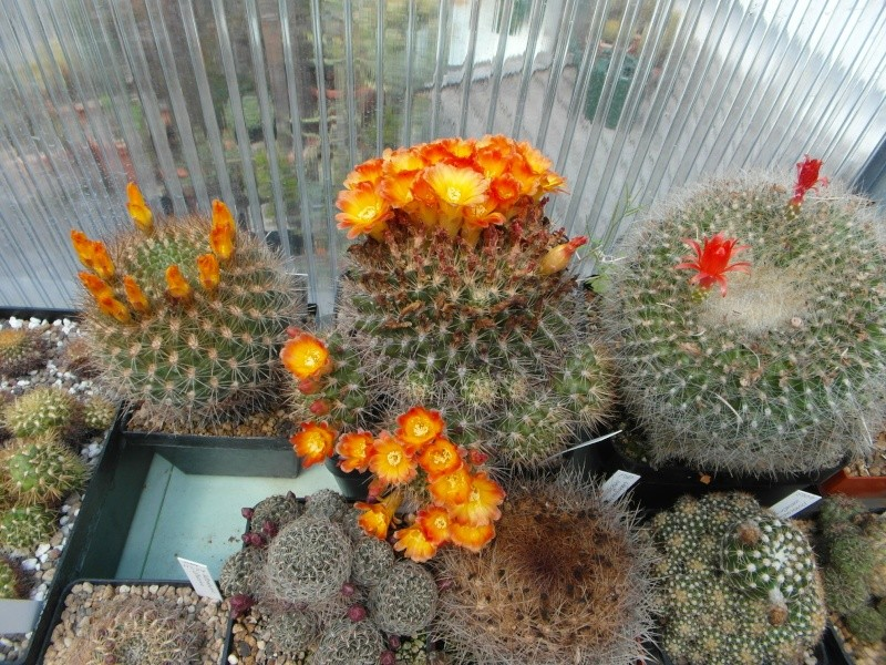 Cacti and Sukkulent in Köln, every day new flowers in the greenhouse Part 53 Bild_138
