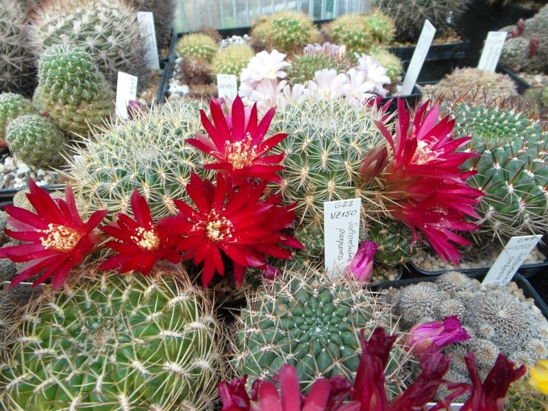 Cacti and Sukkulent in Köln, every day new flowers in the greenhouse Part 53 Bild_140