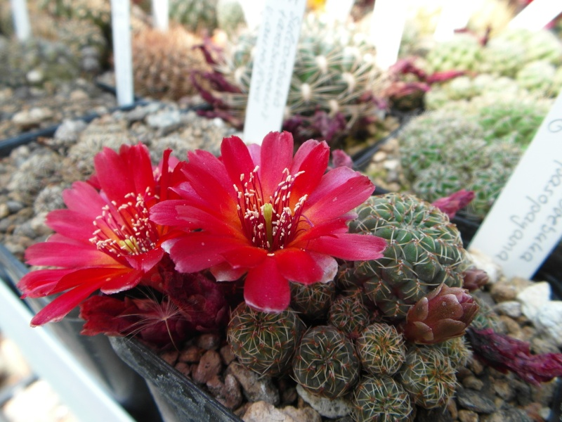 Cacti and Sukkulent in Köln, every day new flowers in the greenhouse Part 53 Bild_142