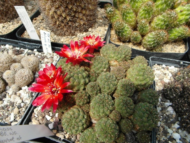 Cacti and Sukkulent in Köln, every day new flowers in the greenhouse Part 53 Bild_145