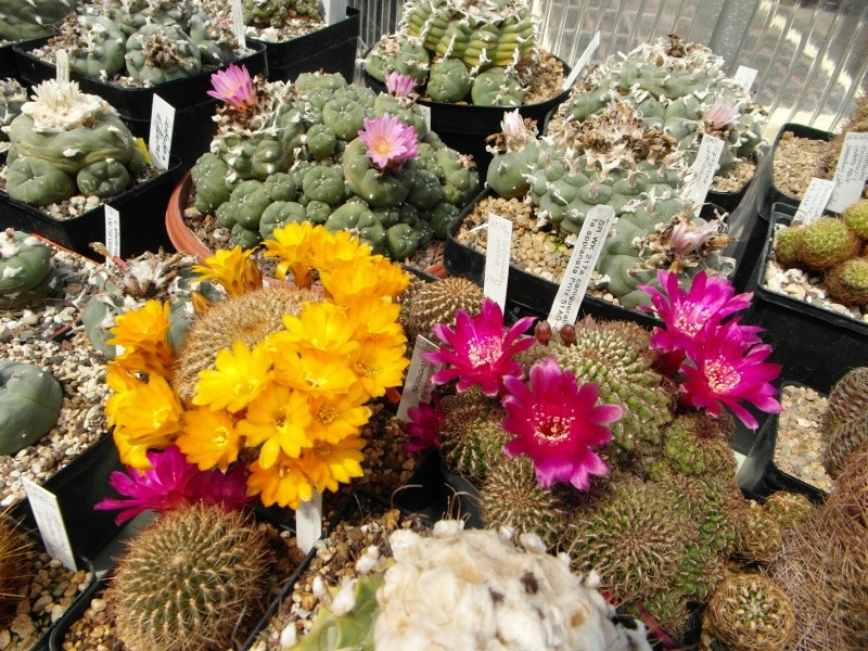 Cacti and Sukkulent in Köln, every day new flowers in the greenhouse Part 53 Bild_146