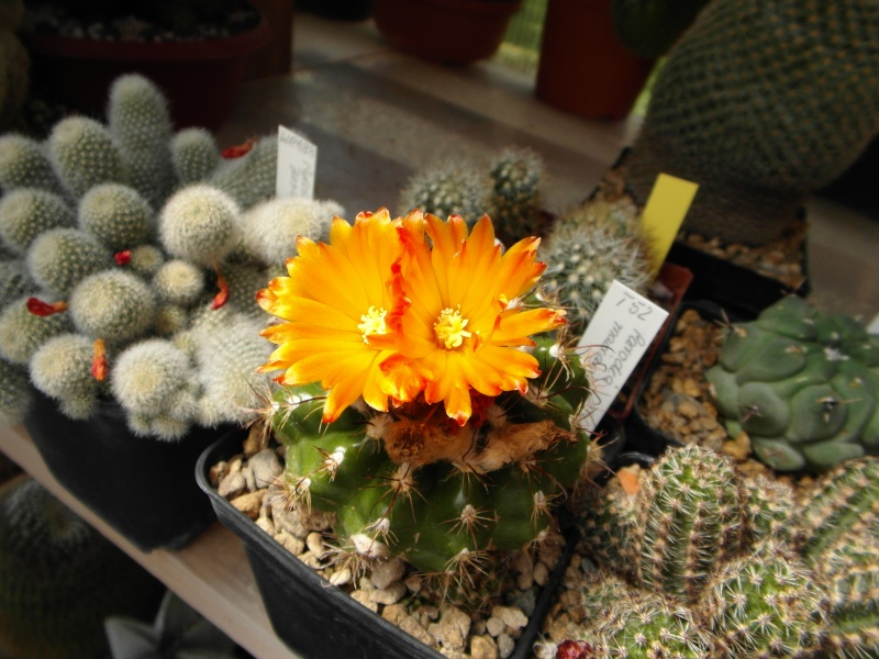 Cacti and Sukkulent in Köln, every day new flowers in the greenhouse Part 54 Bild_166