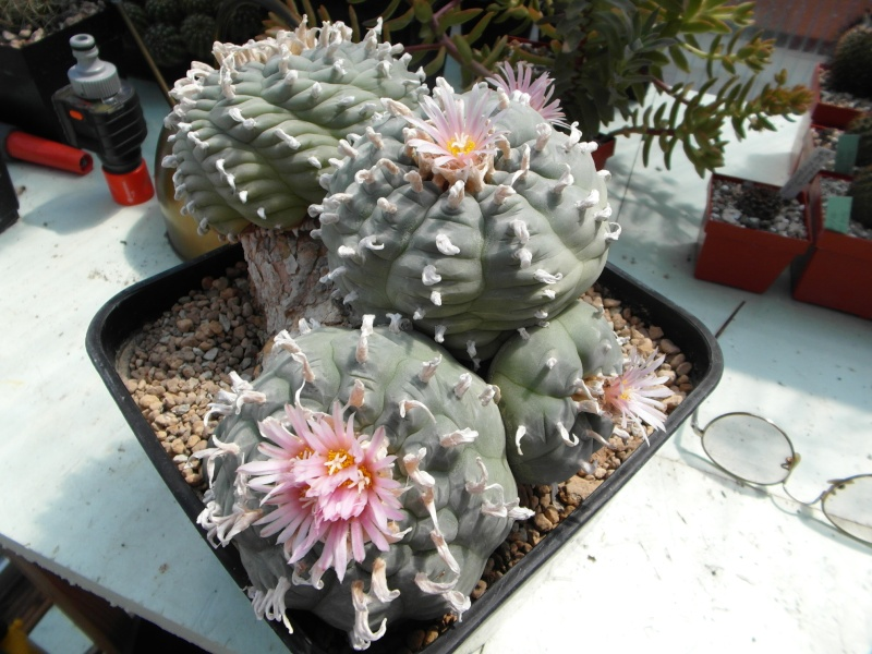 Cacti and Sukkulent in Köln, every day new flowers in the greenhouse Part 54 Bild_168