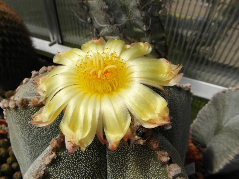 Cacti and Sukkulent in Köln, every day new flowers in the greenhouse Part 54 Bild_169