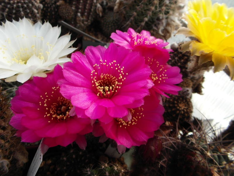 Cacti and Sukkulent in Köln, every day new flowers in the greenhouse Part 54 Bild_173